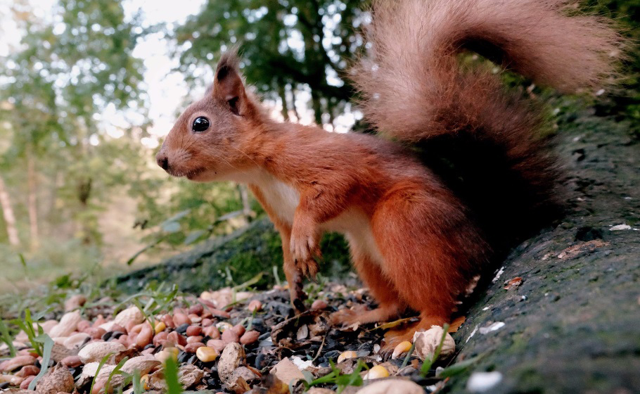 a-red-squirrel-in-the-capability-brown-landscape-at-wallington-national-trust